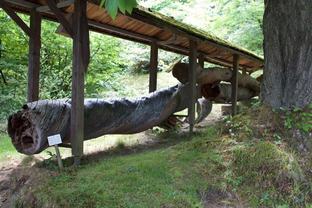 Drehwüchsiger Stamm einer Kiefer aus der Sächsischen Schweitz